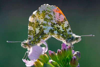 Aurora, Orange Tips (Anthocharis cardamines), Skivum Krat