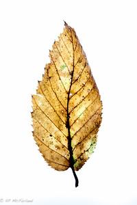 American Hophornbeam (Ostrya virginiana)
