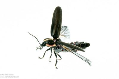 Winter Firefly (Ellychnia corrusca) takeoff