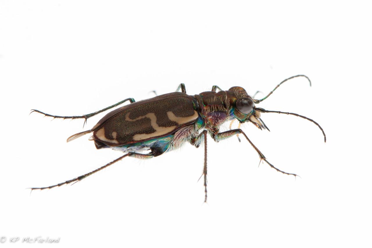 Bronzed Tiger Beetle (Cicindela repanda)