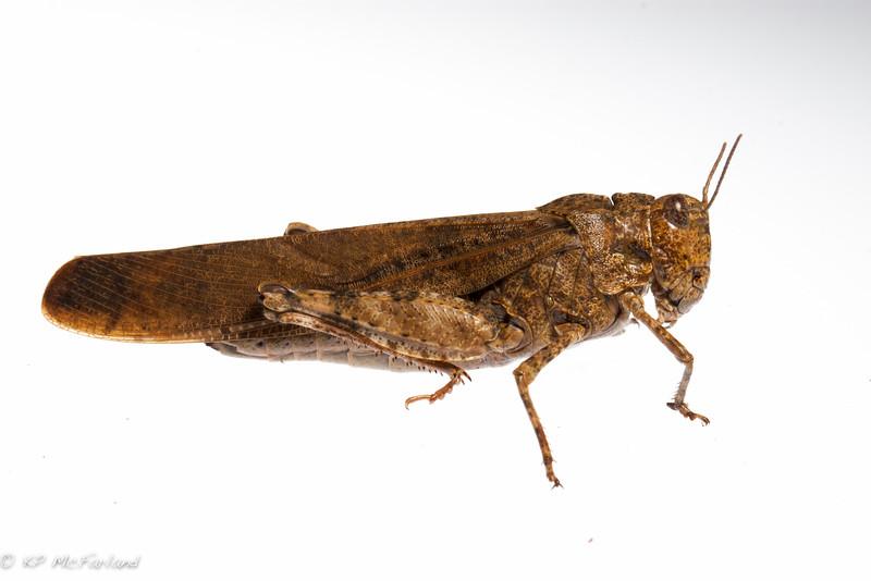 Carolina Grasshopper (Dissosteira carolina)