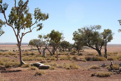 Ghost Gum - we nicknamed 'The Snake Tree' because of the curly trunk along the rock.