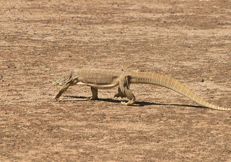 Yellow Spotted Monitor 'Varanus panoptes'