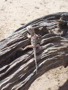 A young Ringtailed Dragon  Photograph: T Sloan