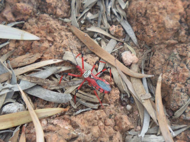 Spiney Legged Assassin Bug (Bee Killer) ID: T. Sloan, Pic: T.Sloan