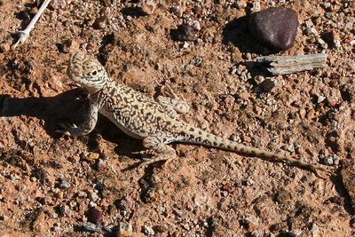 Netted Dragon 'Ctenophorus nuchalis'  This little fella was enjoying a sunbake whilst blending into the surroundings.   Photograph: T Sloan Specialist: Steve K Wilson