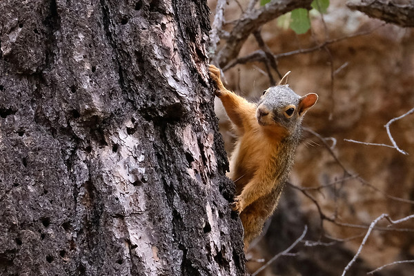 Chiricahua Fox Squirrel. Portal, AZ.   Normally shy, it is a subspecies of Mexican Fox Squirrel, found in the US only in the remote mountains of southeastern Arizona.