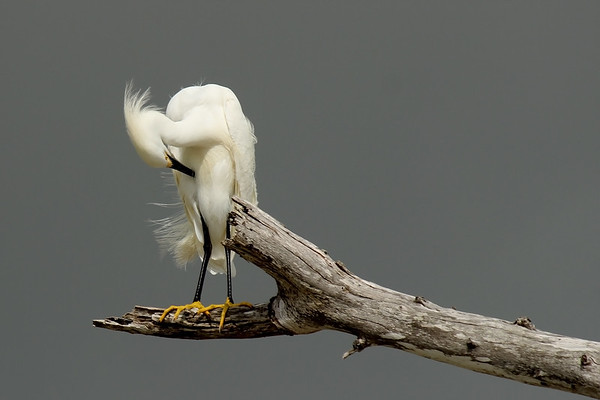 Snowy Egret before the storm. Estero, FL.