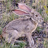 Black-tailed Jackrabbit. Big Bend National Park, TX.