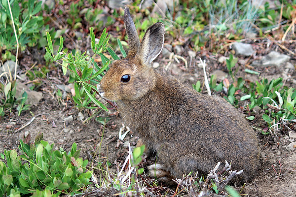 Snowshoe Hare, Olympic National Park, WA.  Yes, that's the photographer reflected in his eye.