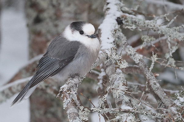 Canada Jay, White Mountain National Forest, NH.