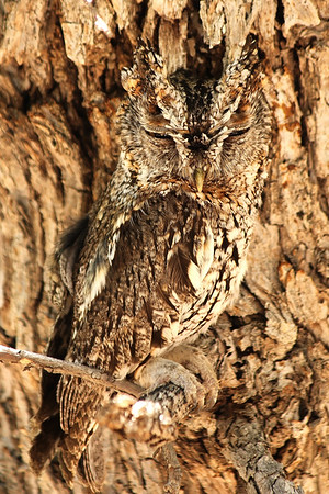 Whiskered Screech-owl, Portal AZ.   There are only a few remote mountain canyons in southeastern Arizona and southwestern New Mexico where this species can be found in the US.