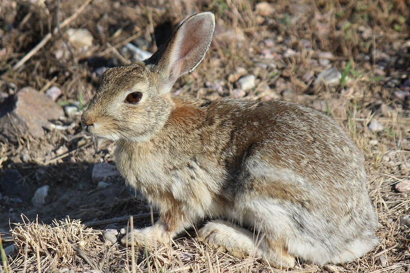 Desert Cottontail.<br /> Joder, Nebraska.
