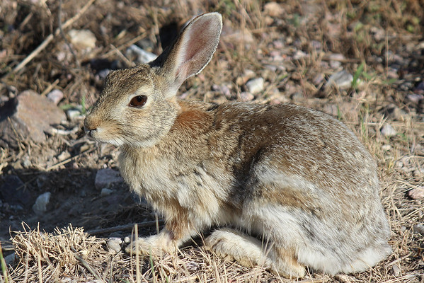 Desert Cottontail. Joder, Nebraska.