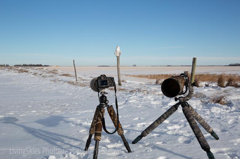 Snowy owl - Saskatchewan Canada