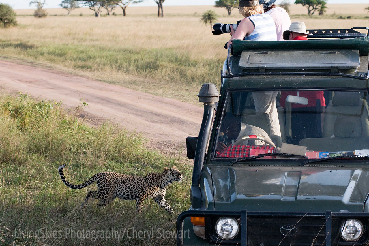 Tanzania 2012, this Leopard came down from a tree, can walked directly at us, circled our vehicle, and then moved to the other side of the road, never taking his eyes off of us, talk about making your heart race!