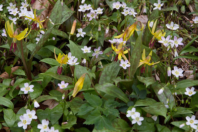 Claytonia and Erythronium
