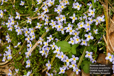 houstonia_serpyllifolia