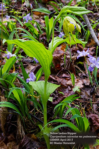 Cypripedium calceolus_2