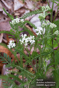 Achillea_millefolium