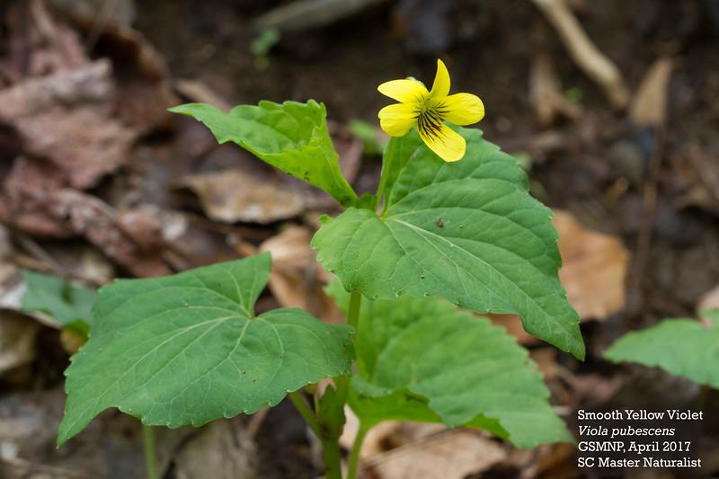 viola_pubescens