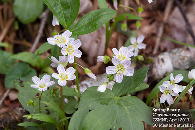 Claytonia_virginica