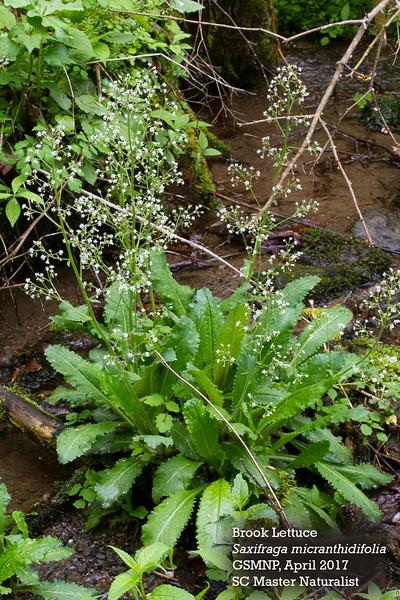 Saxifraga_micranthidifolia