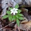 Anemone_lancifolia