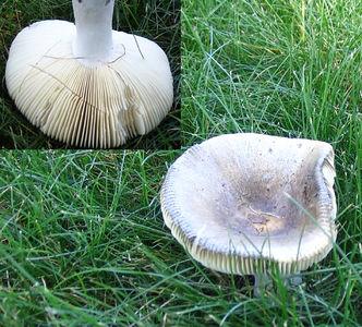 Russula lauroceasi