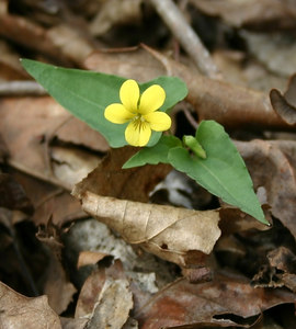 Viola hastata  Found on 40 Acre Rock, Lancaster County  Lance shaped leaf is a characteristic