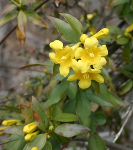 Gelsemium sempervirens  Found on 40 Acre Rock Yellow jessamine, state flower