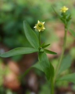 Ranunculus abortivus ,   Found in York County on Hopewell Tract