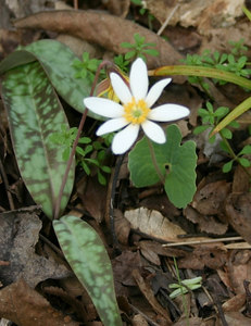 Sanguinaria canadesis      Located at 40 Acre Rock in Lancaster County Early bloomer, common name is Blood Root