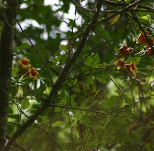 Bigonia capreolata