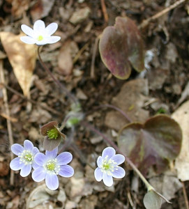 Hepatica americana  Found at 40 Acre Rock, Lancaster County