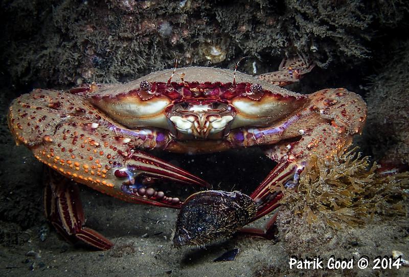 Krabbe knabbert