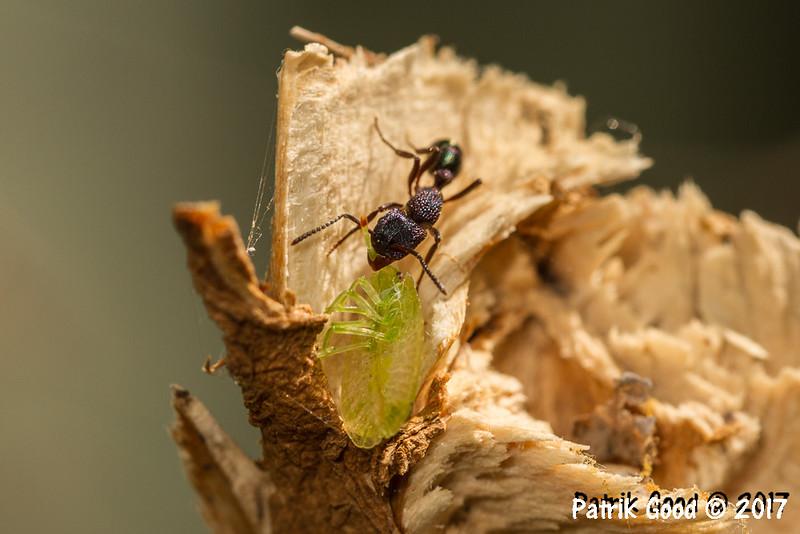 With Bronze Orange Bug nymph.