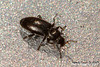 Size 0.5mm. Tiny beetle moving fast.