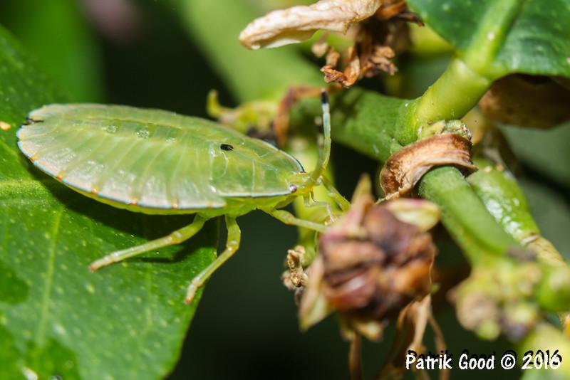3rd instar nymph