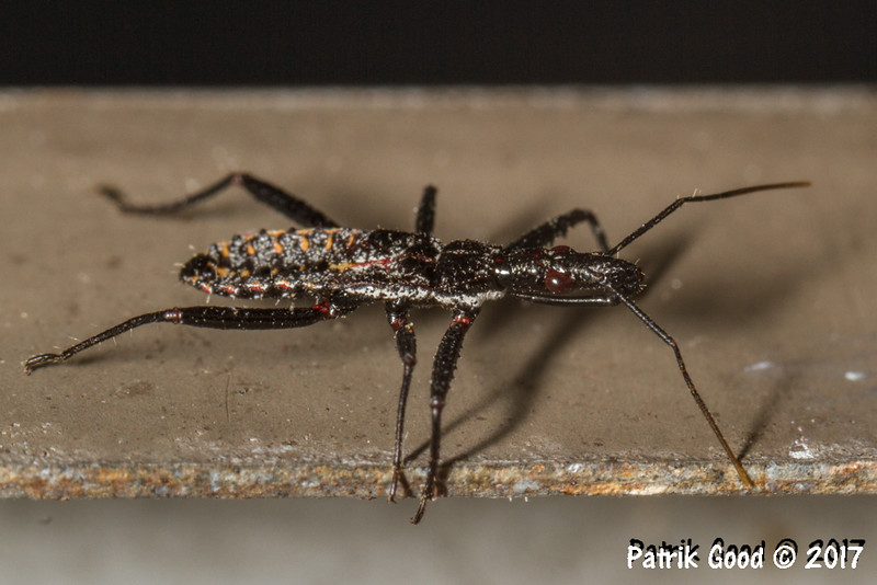 """Probably nymph of this undescribed species: <a href=""""http://biocache.ala.org.au/occurrences/cef9d48e-6ed2-46c6-a892-75f282979ba8"""">http://biocache.ala.org.au/occurrences/cef9d48e-6ed2-46c6-a892-75f282979ba8</a>"""