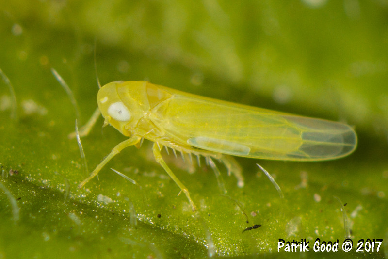 Size 3mm. Among identical looking grass hopper nymphs in oregano.