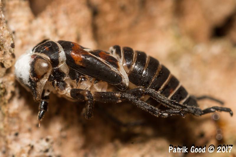 Size 10mm. Spittlebug, Cicadamorpha?
