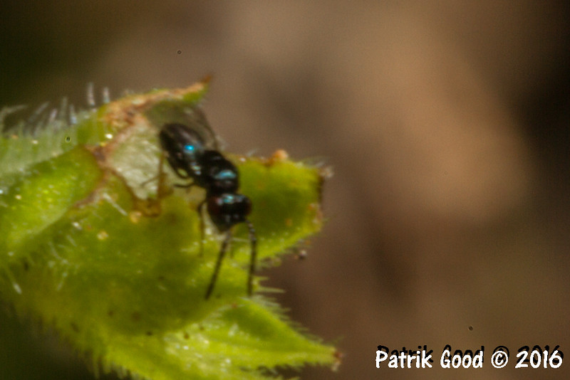 First document of the species and published in gallery with wasps to be identified.