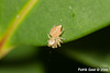 Size 1.5mm, one of the smallest spiders ever, fast and agile.