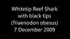 Whitetip Reef Shark - Triaenodon obesus