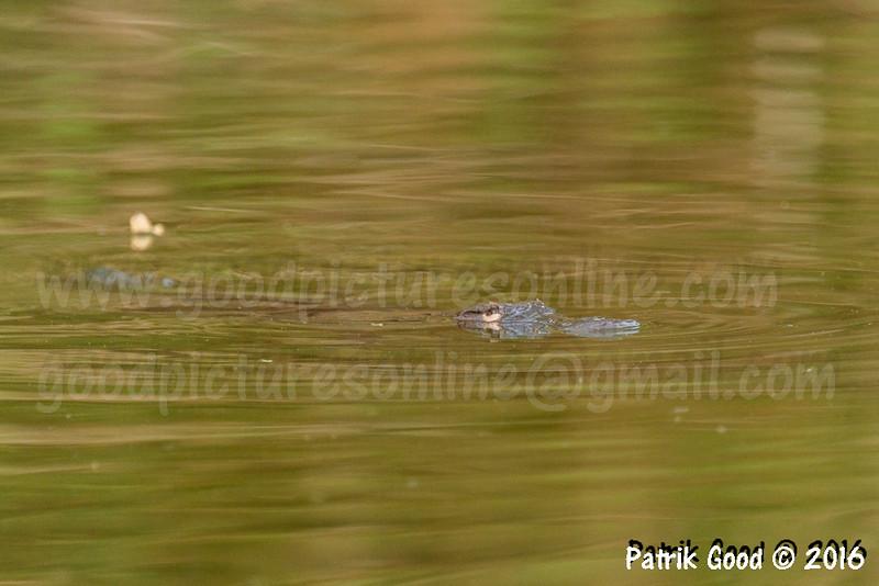 Platypus playing crocodile