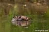 Scratching platypus