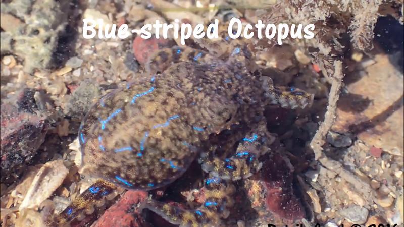 Blue-striped Octopus - Hapalochlaena fasciata