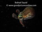 Bobtail Squid - Sepiadarium austrinum