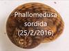 Phallomedusa sordida